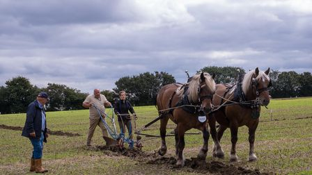 A man pulling on reins behind two horses and a traditional plough at the Countess of Warwick's Country Show in Essex