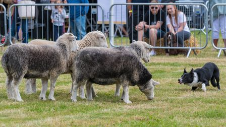 A sheepdog crouches down, watching three sheep at the Countess of Warwick's Show, Essex
