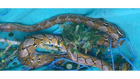 10ft python rescued from a tree