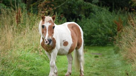 Norfolk's Bamboo, the fifty-year-old Shetland pony