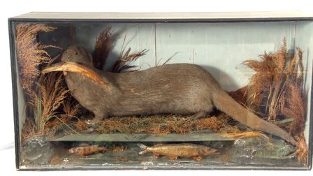 Taxidermy otter holding a fish in its mouth set in a naturalistic setting in a glass case