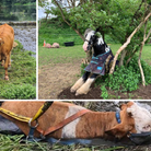 Cows and a horserescued by Suffolk Fire and Rescue over the last year.