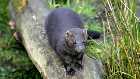 The American mink