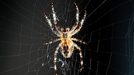 An Orb Weaver spider spotted in Norfolk.