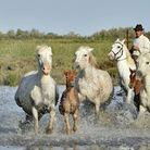 The famous grey horses of the Camargue and their foals. Pic: USO/Getty
