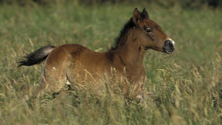 Camargue foals are born with dark brown or black hair. Pic: slowmotiongli/Getty