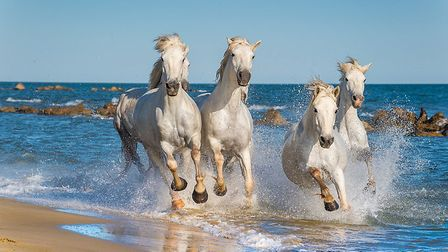 An iconic image of the Camargue horses. Pic: USO/Getty