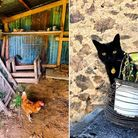 Chicken in the barn and tomcat Ralphy