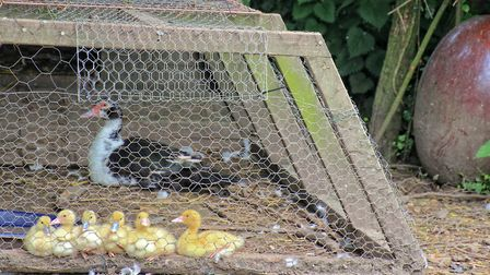 Ducklings seemed like such a good idea - until the summer 52 eggs hatched (c) Janine Marsh