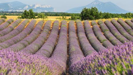 Lavender fields are one beautiful aspect of Provencal countryside, Saint Jurs Getty Images estivil