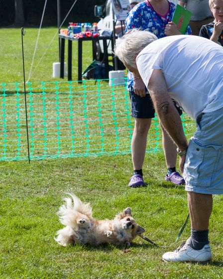 Dog rolling on ground, feet up, exposed tummy at Felsted fun dog show, Essex