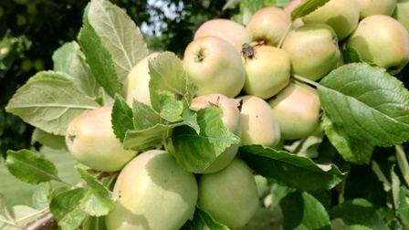 There will be an Apple and Bees Open Day at The Gardens of Easton Lodgeon September 19.