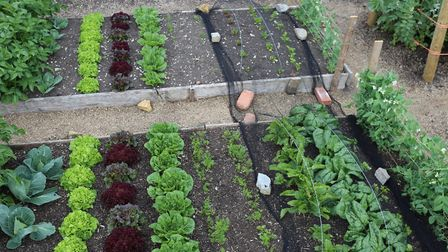 21st May view of cabbage, lettuce, carrots, beetroot, spinach and peas: no dig bed in front, dig beh