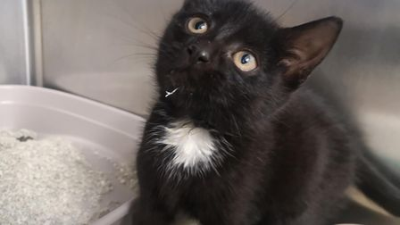 Kitten hit in Bressingham road in Norfolk cared for by Cat's Protection