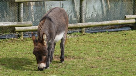 One of the minature donkeys from Minature Donkeys and Wellbeing. Picture: Danielle Booden