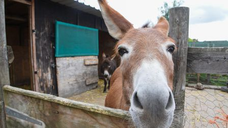 One of the therapy minature donkeys from Minature Donkeys and Wellbeing