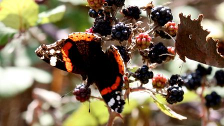 A red admiral butterfly on blackberries