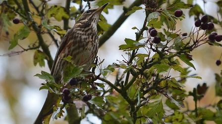 A redwing taking berries from a tree