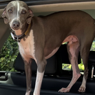 Percy, an Italian greyhound, went missing in west Suffolk on September 12.
