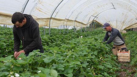 Workers picking strawberries by hand at Sharrington Strawberries