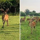 Two stags escaped from a farm in Grange Road, March, overnight.