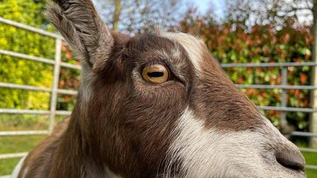 A Cherry Tree Farm goat meets people at a Goats at Home event.