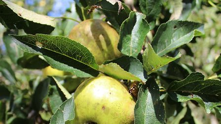 Apples in the overgrown orchard