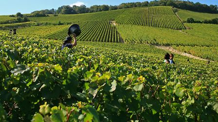 Harvest time in Champagne ©Atout France Olivier Roux