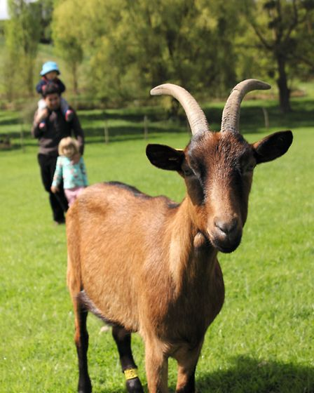 A goat poses for a picture on the farm in Normandy