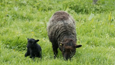 Grazing sheep is a good way of keeping the grass down
