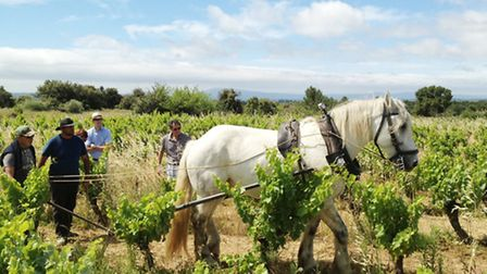 The old ways are the best at Domaine Laur Bauzil © Dominic Rippon