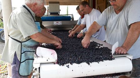 Checking the grapes by hand at Domaine de la Ramade © Dominic Rippon