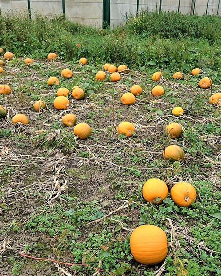 Lincoln Farm in Coates, where you can go pumpkin picking this Halloween.