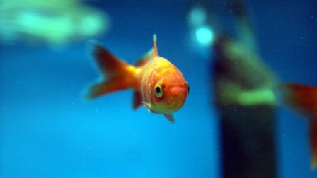 A general view of a Gold fish swimming inside a fish tank.