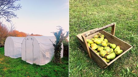 polytunnels on a field with orange-leaved autumn trees behind. Then, a wooden basket filled with pears on green grass