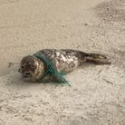 A seal was rescued at Blakeney Point after getting caught in netting.