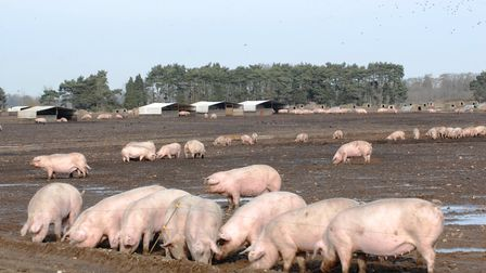 Outdoor pigs Picture: JULIAN COOKSLEY