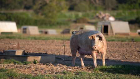 Pigs basking in the sunshine Picture: SARAH LUCY BROWN