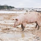 More than 100,000 pigs could be culled if the current butcher shortage isn't solved
