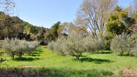 Olive trees in French garden