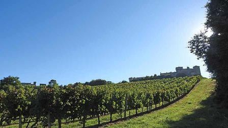 Grape vines in Bordeaux with blue sky above
