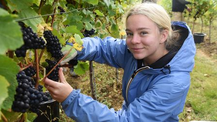 Imogen Gibbs, crop technician at work at the Scarff's Farm Vineyard in Combs