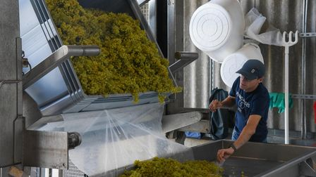 Grapes being poured onto the sorting table at Flint Vineyard in Earsham. Picture: Danielle Booden