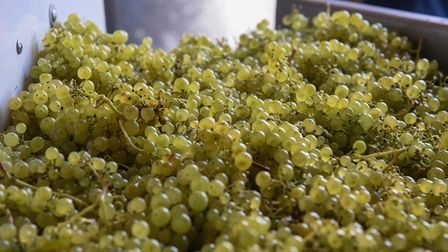 Bunches of grapes on the sorting table at Flint Vineyard in Earsham. Picture: Danielle Booden
