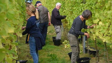 Grapes being hand picked at Flint Vineyard in Earsham. Picture: Danielle Booden