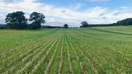 The Wild Ken Hill estate in west Norfolk is introducing a 'pasture cropping' system