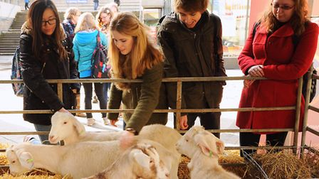 The Goats for Votes initiative at the UEA as students meet and pet goats to encourage higher numbers
