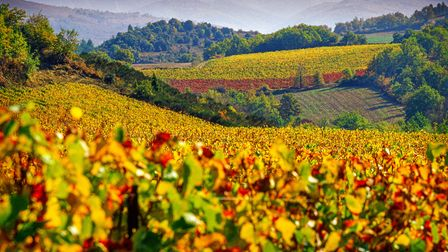 Long stretches of golden vineyards produce excellent wine in Limouxin, Aude