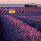 Lavender fields in Valensole Plateau at sunset in summer