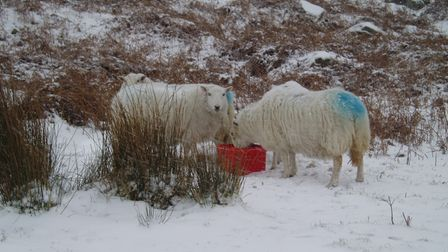 Two sheep eating a feed block in a snowy field